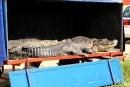 Rozleniwione krokodyle