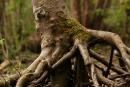 Malowniczo podmyty korzeń