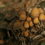 Czernidłak gromadny w jesiennym świetle