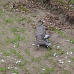 Krogulec (Accipiter nisus)