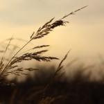 Wyschnięte trawy wypatrują następców