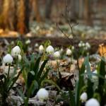 Śnieżyca wiosenna (Leucojum vernum) w Śnieżycowym Jarze